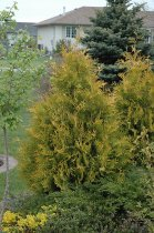 Yellow Ribbon White Cedar (Thuja occidentalis 'Yellow Ribbon') at Gertens
