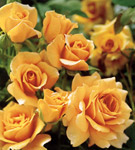 pictures of yellow roses